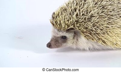 Curious hedgehog in search of food, walking and sniffing on a white background at studio. Slow motion. Close up