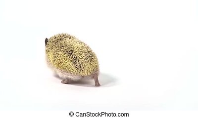 Curious hedgehog is walking and sniffing on a white background at studio. Close up