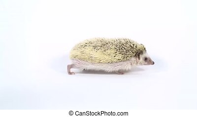 Curious hedgehog in search of food, walking and sniffing on a white background at studio. Slow motion.