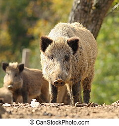 curious huge wild boar looking at the photographer