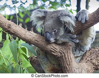 Curious koala on the tree