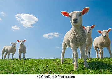 curious lambs in spring - curious lambs looking at the...