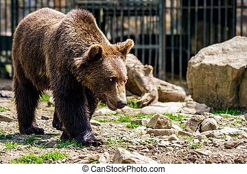curious little bear in rehabilitation center in Carpathians...