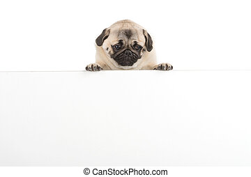 Curious little dog. Funny dog looking out of the poster while isolated on white