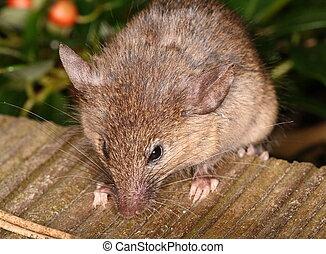 Curious little house mouse