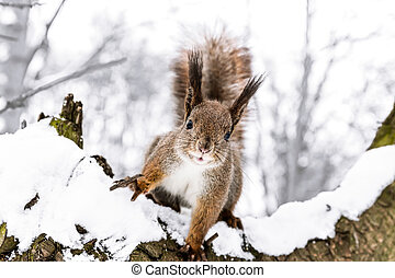 curious little squirrel stretches forward on snowy tree in ...