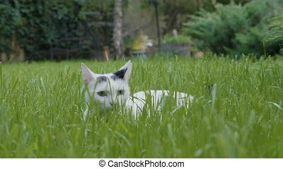 Curious little white cat laying on grass stalking imaginary...