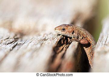 Curious Lizard - Zootoca-vivipara on a tree trunk - macro...