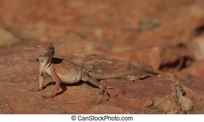 Curious looking Lizard, King's Canyon, Australia - Extreme...