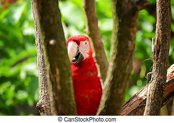 Curious macaw of ara between the trees