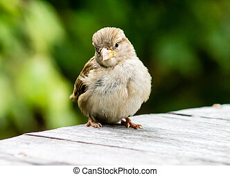 Curious Male House Sparrow (Passer domesticus), standing on ground.