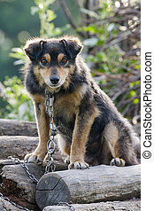 Curious miserable dog - Curious chained dog on a pile of...