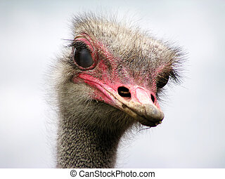Curious ostrich close-up portrait