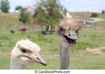 Curious Ostriches 1