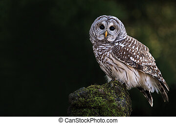 Curious Owl - Closeup of a Barred Owl against a blurred...