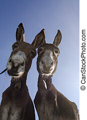 curious pair of donkeys