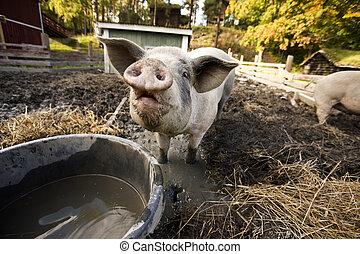 Curious Pig - A curious pig at a watering bowl