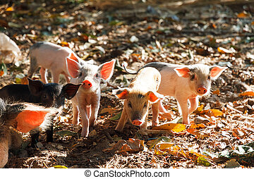Curious piglets - Cute piglets in the morning sun in...