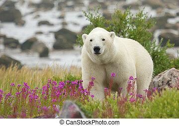 Curious Polar Bear closing in - Canadian Polar Bear walking...