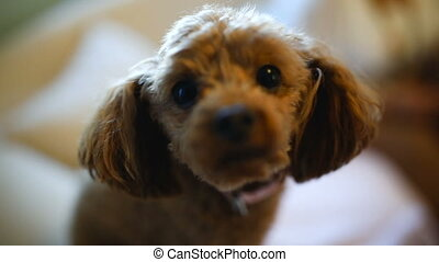 Curious Poodle Dog - Curious toy poodle dog is sniffing at...