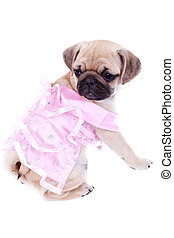 mops princess looking behind - curious pug puppy dog wearing...