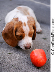 Curious pup - Beagle puppy approaches ball timidly
