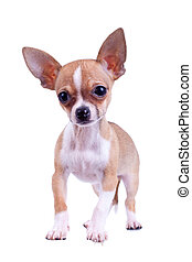 curious puppy Chihuahua poses on a white background