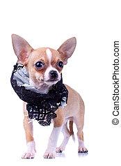 curious puppy Chihuahua