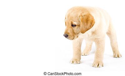 curious Puppy Labrador retriever cream