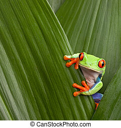red eyed tree frog - curious red eyed tree frog hiding in...