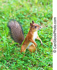 Curious red squirrel in the forest. Sciurus vulgaris.
