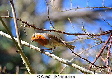 curious robin on a branch