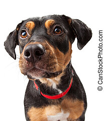 Curious Rottweiler Dog Mix Portrait