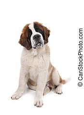 Saint Bernard Puppy Sitting Down With Head Tilted