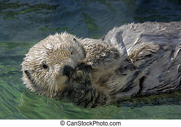 Curious Sea Otter close up - Seaotter floating on its back