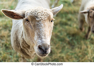 Curious sheep, funny domestic animal