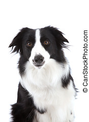 Curious sheepdog - Cute sheepdog looking curiously at the...
