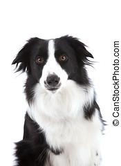 Curious sheepdog - Cute sheepdog looking curiously at the...
