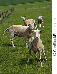Curious sheeps on a pasture, German
