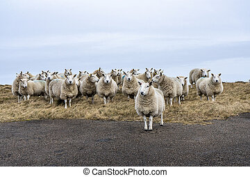 Curious sheeps standing on pasture