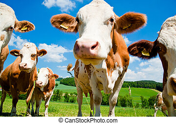 Curious simmental cows on the meadow with bright sky