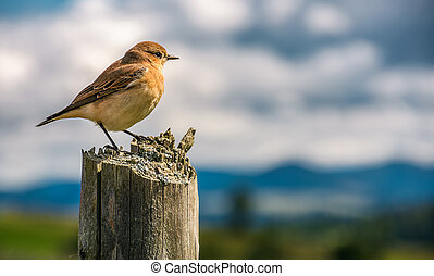 curious sparrow on a fence looks in to mountains - curious...