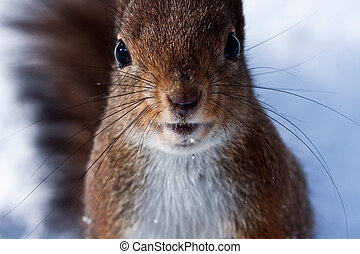 curious squirrel - Closeup of red squirrel posing at the...