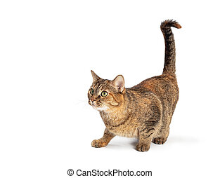 Curious Tabby Cat Side View Tail Up