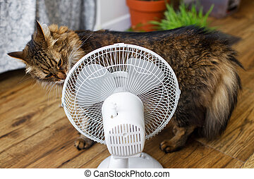 Curious tabby cat smelling old white fan on wooden floor in rustic room. Summer heat and pets in home concept. Adorable Maine coon sniffing air fan
