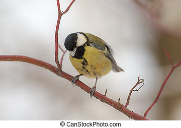 Curious tit on a branch