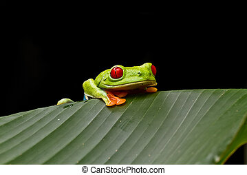 Curious tree frog - A curious Red eyed tree frog peers over...