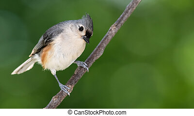 Curious Tufted Titmouse, Perched on a Slender Tree Branch