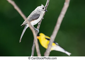 Curious Tufted Titmouse, Perched  with a Goldfinch on a Slender Tree Branch