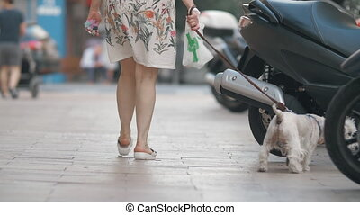 Curious west highland white terrier having a city walk with the owner
